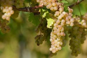 Weißwein aus Deutschland