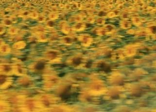 Sonnenblumenfeld in Deutschland