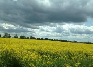 Rapsfeld in Deutschland, gelb blühend